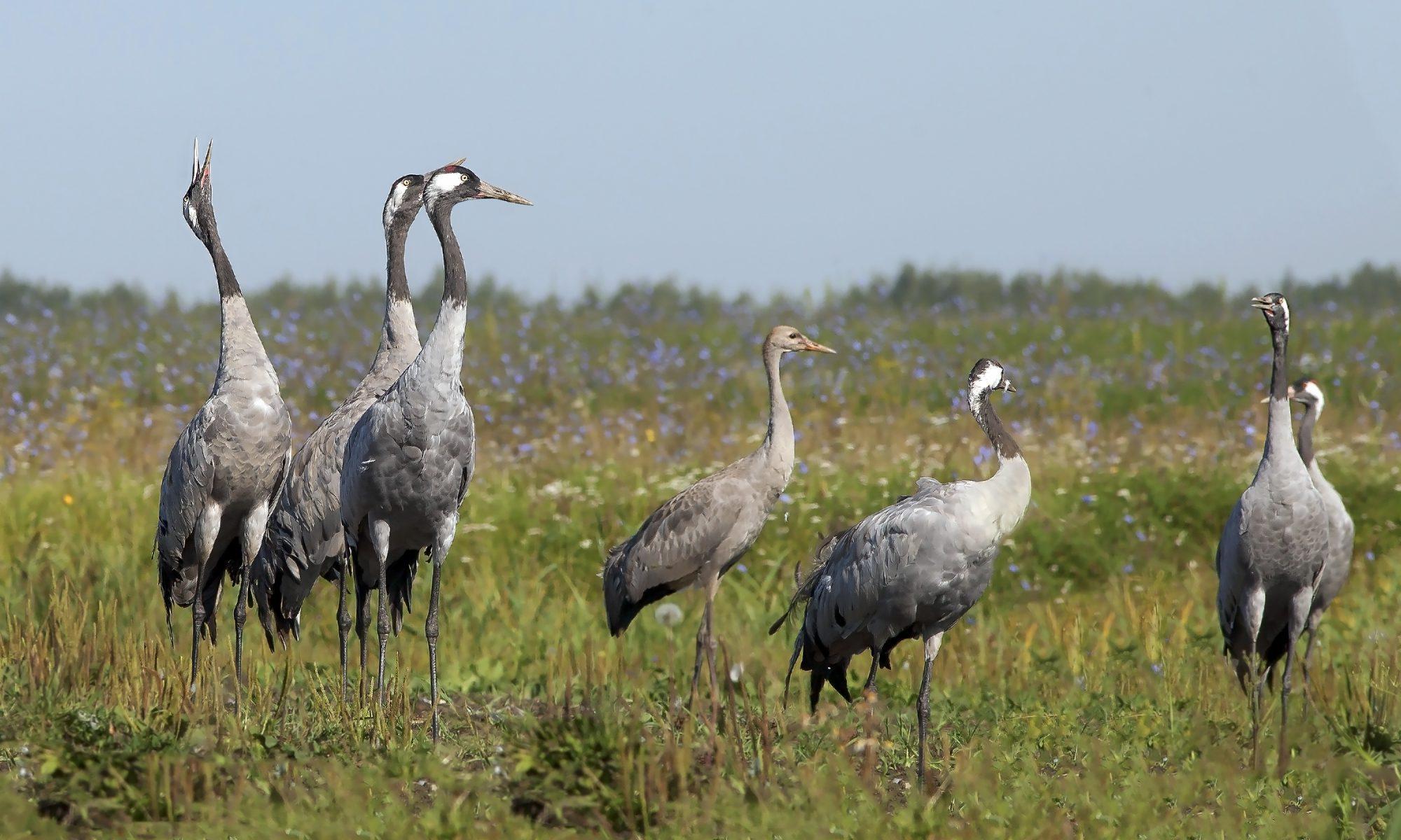Kraanvogels in Nederland